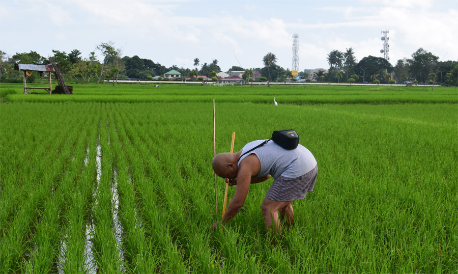 Photograph of a researcher measuring a rice plant