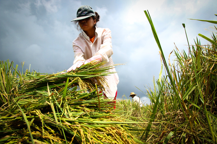Photograph of a farmer harvesting rice in the Philippines