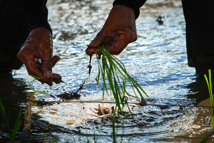 Photograph of rice seedlings being planted in a field
