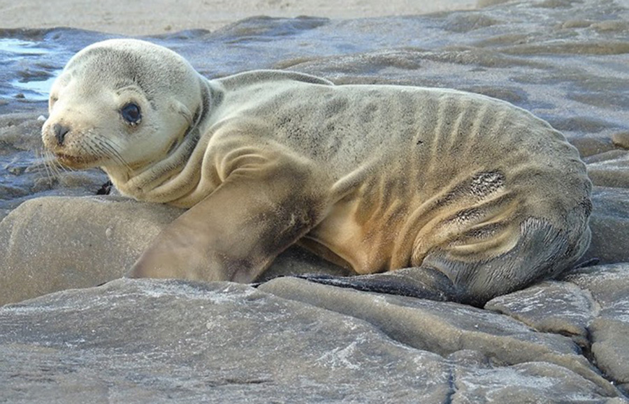 Photograph of a malnourished sea lion pup