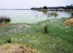 Photo by lakeside showing algae clogging a lagoon.