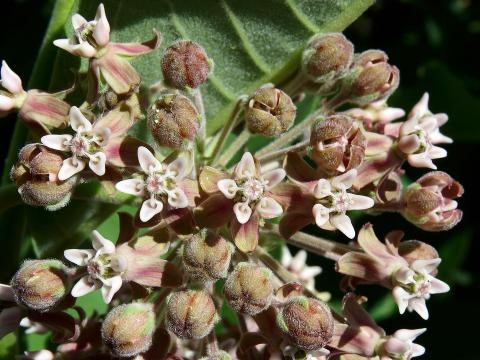 Image of common milkweed (Asclepias syriaca). Evidence suggests its populations are declining due to climate change impacts on its pollinators.