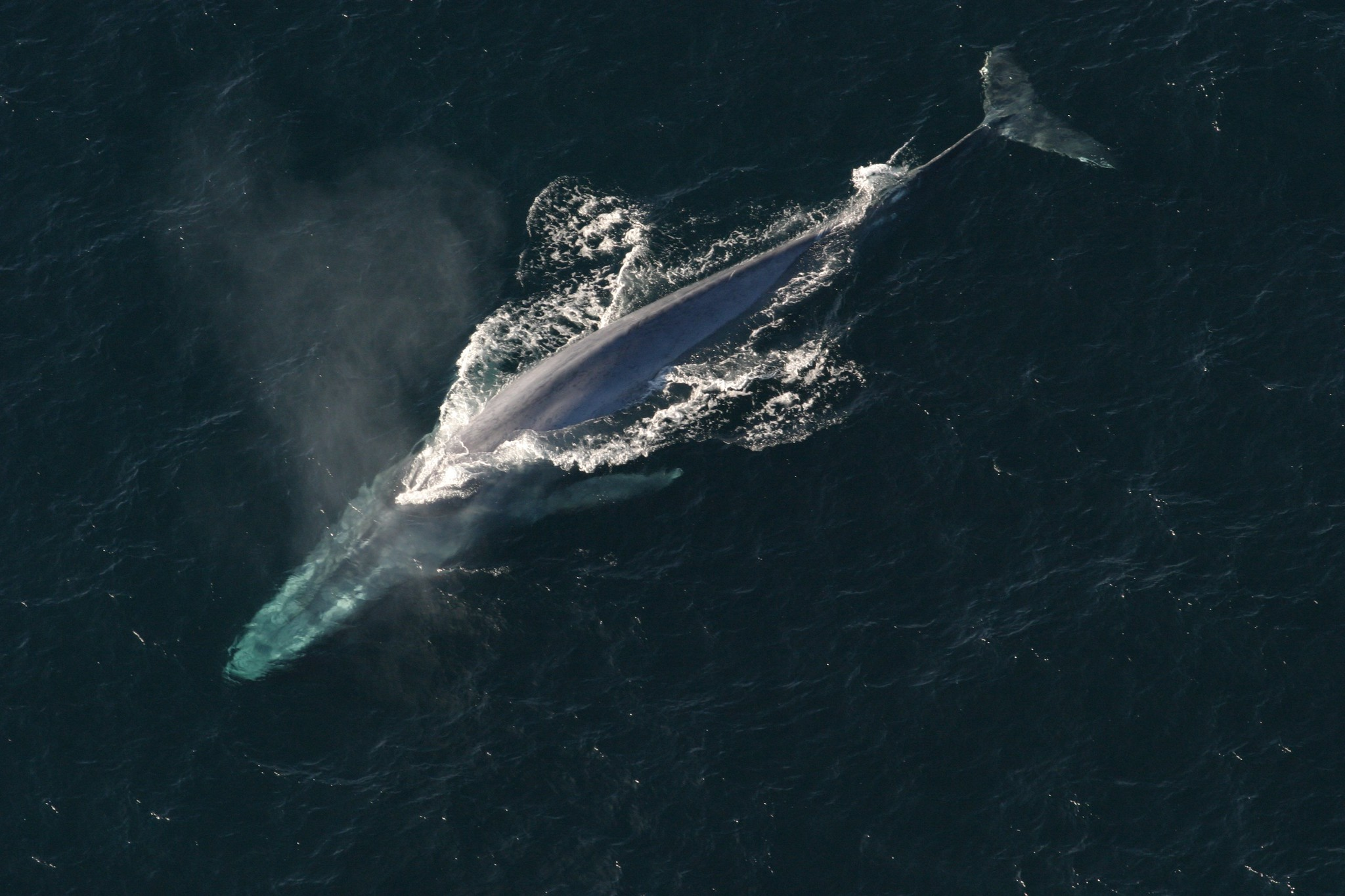 Aerial photo of a blue whale.