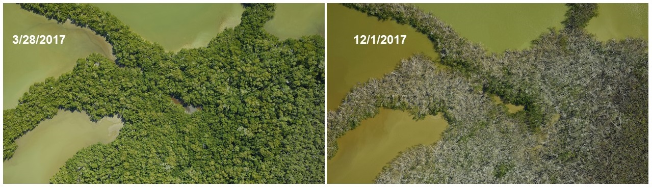 Mangrove forest surrounded by water. Left image shows green vegetation. Right image of the same location shows gray, dead vegetation.