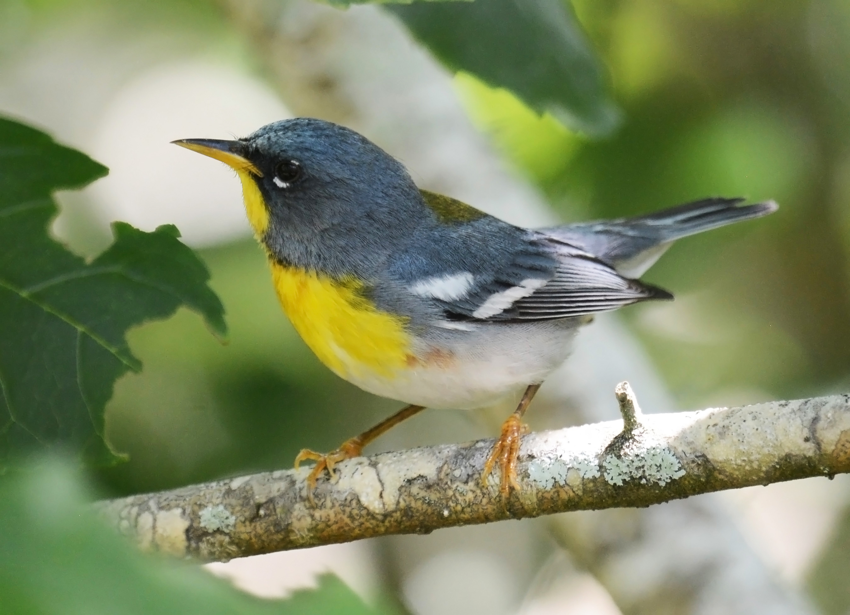 The bluish gray Northern Parula bird has a yellow belly.
