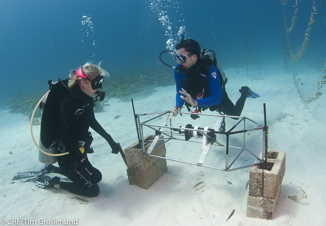 Underwater image of Dr. Barnes and a colleague, both in wetsuits and using SCUBA gear, installing a frame on a sandy shallow-water sea bed.