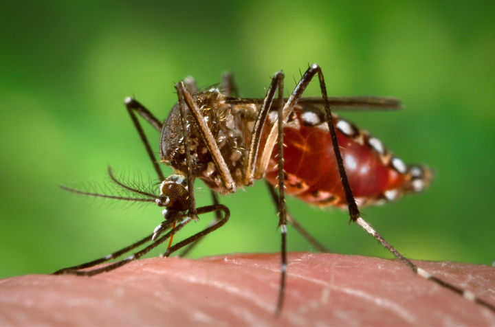 Aedes aegyptimosquitoes carry several tropical diseases, including chikungunya, dengue, Zika, and yellow fever. They are recognized by white markings on their legs. (Image courtesy of CDC/James Gathany.) From: https://earthobservatory.nasa.gov/features/disease-vector