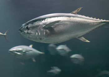 Photograph of Pacific Bluefin tuna