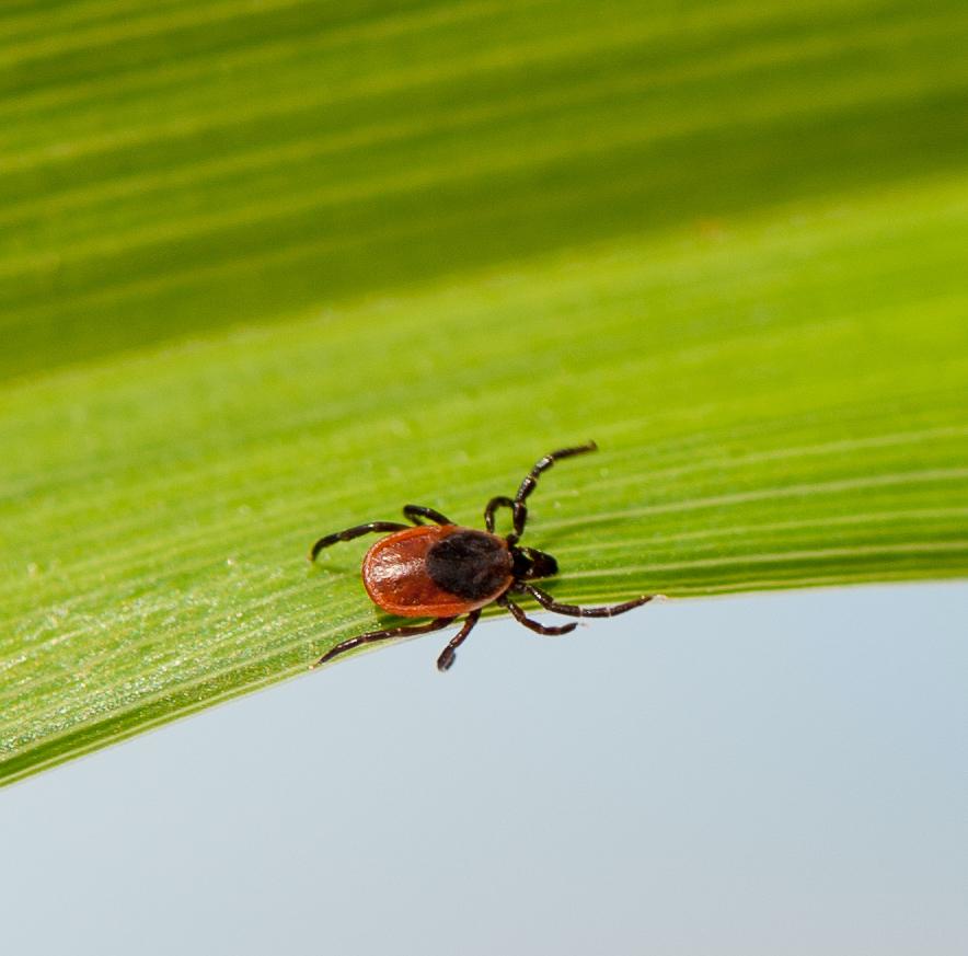 Deer tick (species name Ixodes scapularis) is shown on a green leaf. Deer ticks carry the bacteria that causes Lyme disease.