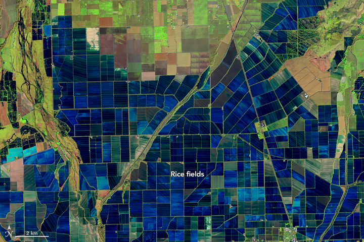 This false-color Landsat 8 Operational Land Imager (OLI) image acquired on December 26, 2018, highlights the patchwork of flooded rice fields along the Sacramento and Feather Rivers in California, USA. Inundated fields are shown in dark blue; vegetation is bright green. A series of raised levees form the grid pattern between the fields. This image was acquired using a combination of shortwave infrared, near infrared, and visible light (bands 6-5-4). Credit: NASA Earth Observatory.
