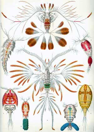 Illustration of copepods from the 1800s