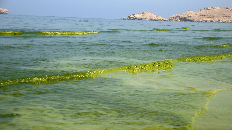 Photograph of plankton-filled seawater that looks like green slush