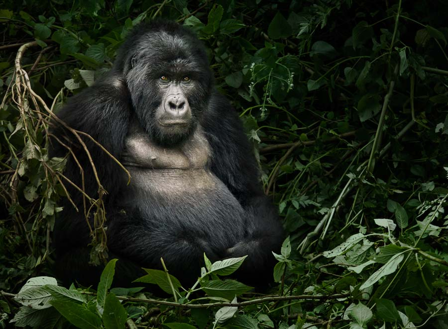 Photograph of a mountain gorilla