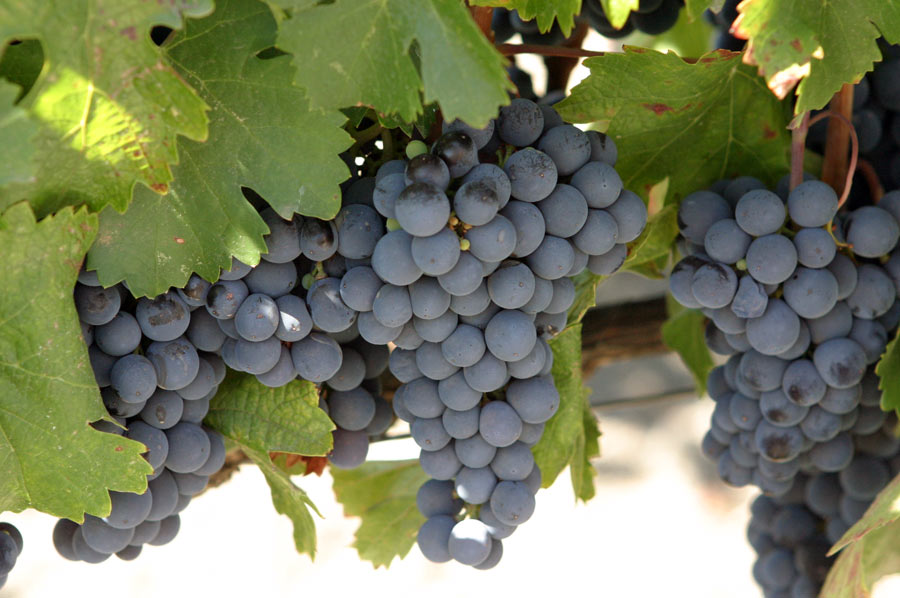 Photograph of malbec grapes on the vine