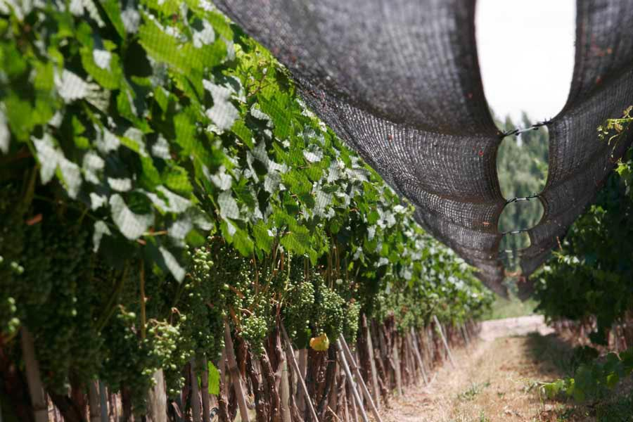 Photograph of nets that protect grape vines from hail