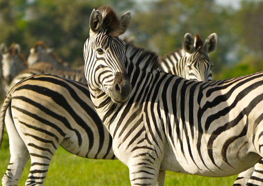 Zebra Without Stripes Zebras without borders...