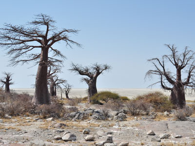 Photograph of baobab trees
