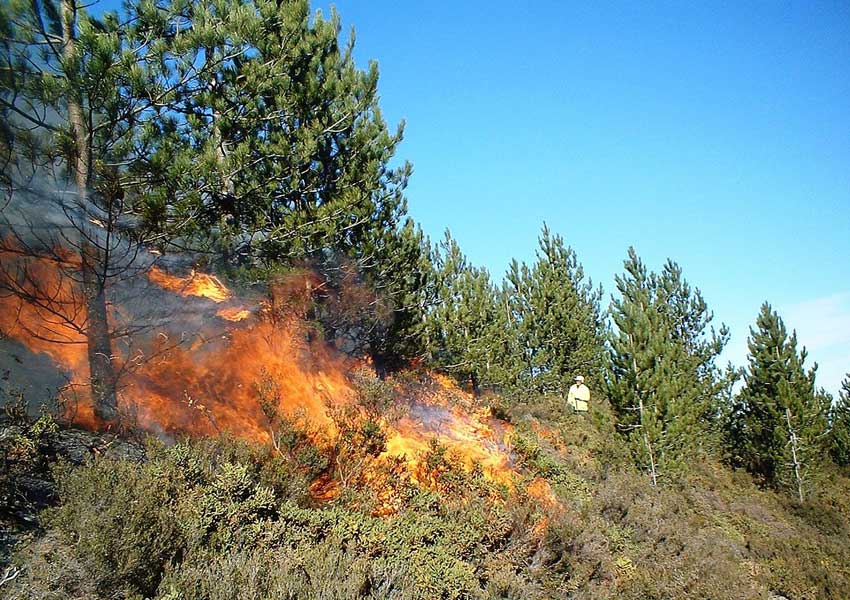 A prescribed fire is applied to a Pinus nigra stand in Portugal. (Courtesy P. Fernandes)