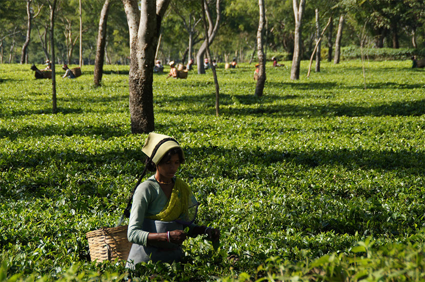 Photograph of a tea plucker on a plantation in India