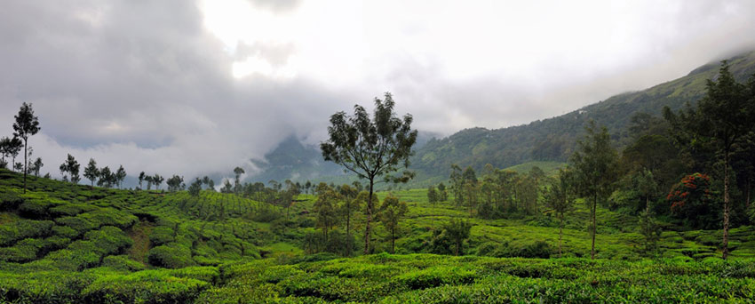 Photograph of a tea plantation in Munnar, India