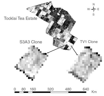 Satellite data image showing two particular tea clones on the Tocklai Tea Estate in India