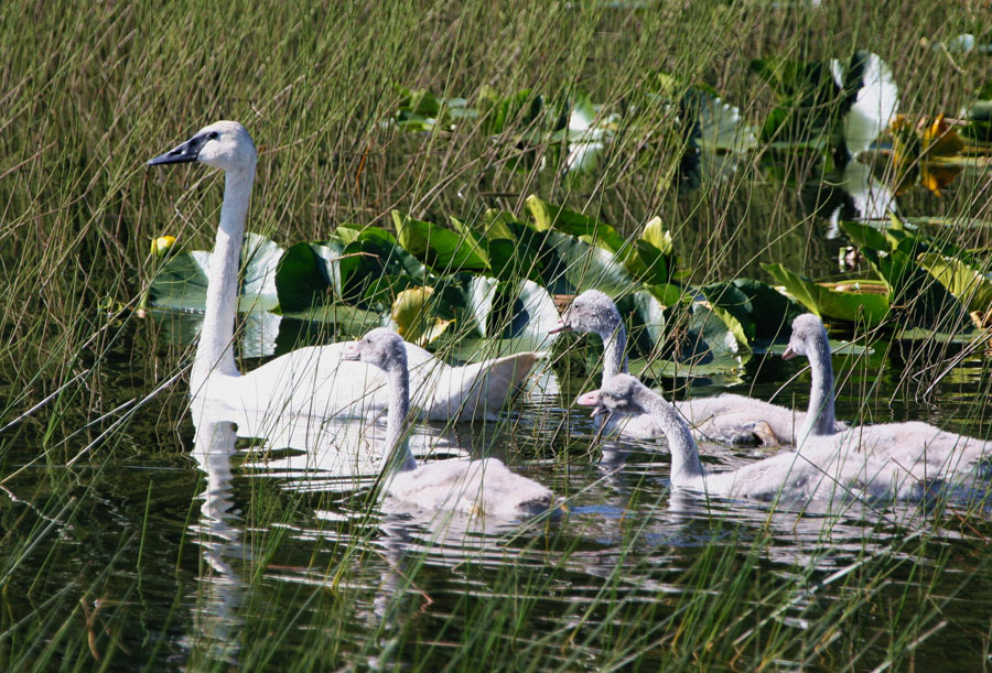 Photograph of swimming trumpeter swans