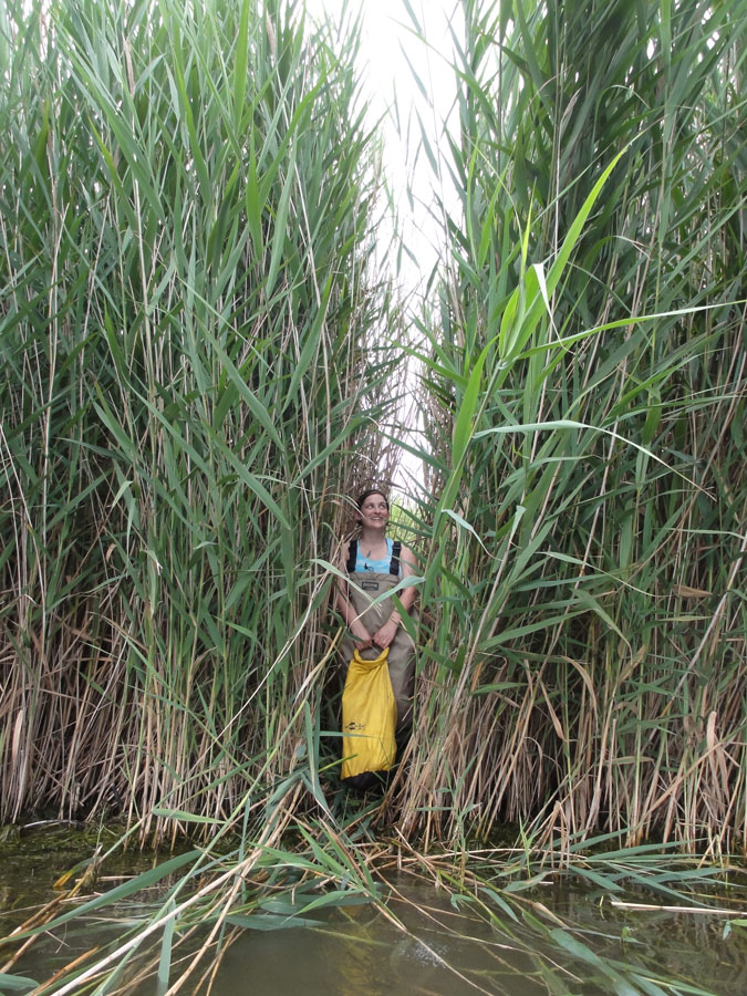 Photograph of a researcher standing among Phragmites reeds
