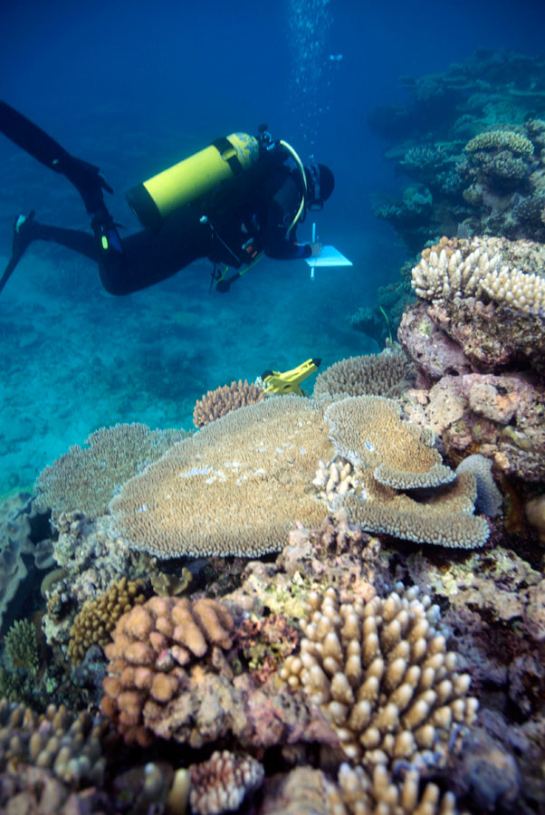 Photograph of marine ecologist swimming near a table coral