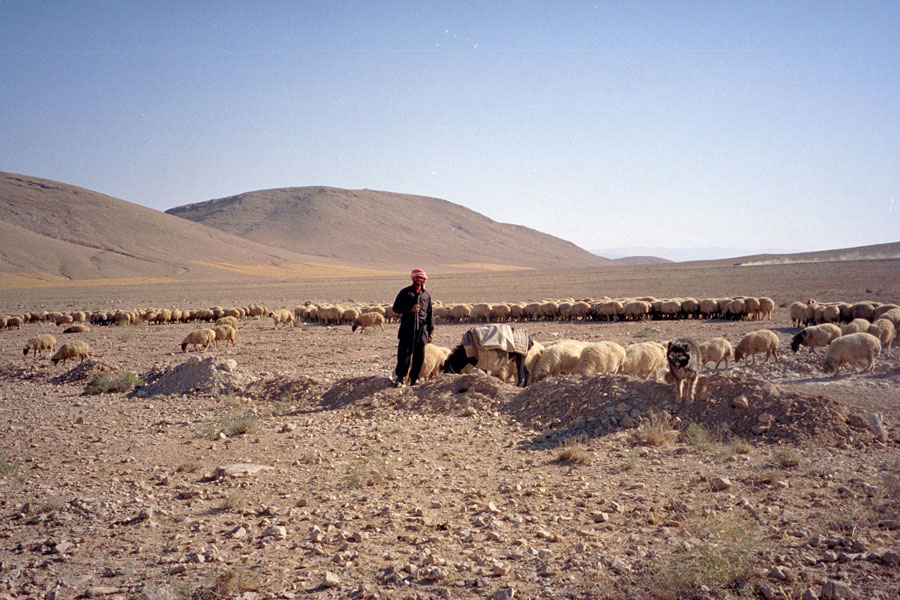 Photograph of a bedouin shepherd in Syria