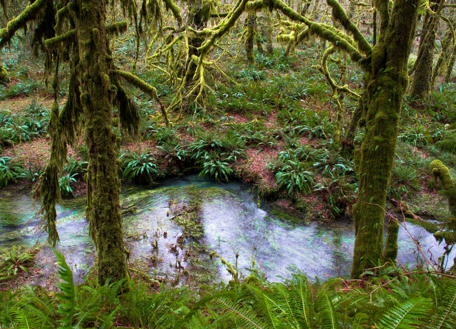 Photograph of a lush, green rainforest in the Pacific Northwest