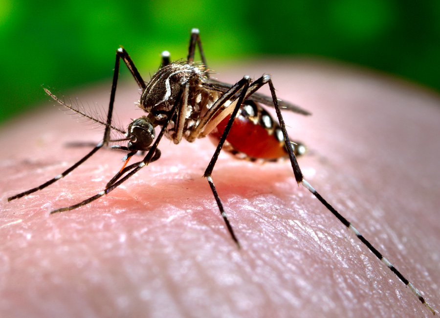 Photograph of a mosquito