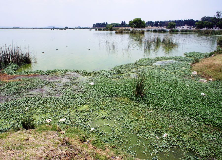 Photograph of algae clogging a lagoon full of wastewater