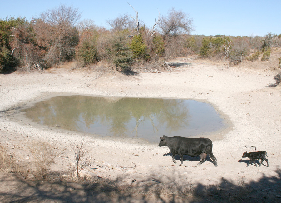 Photograph of a cow and calf near a water hole during a Texas drought