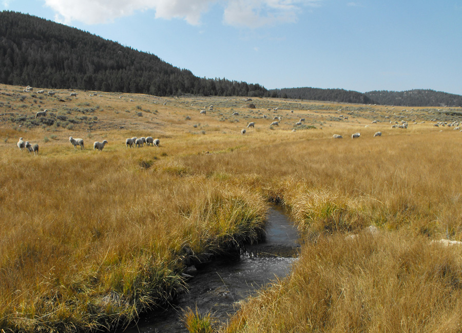 Photograph of sheep grazing on rangelands in Wyoming