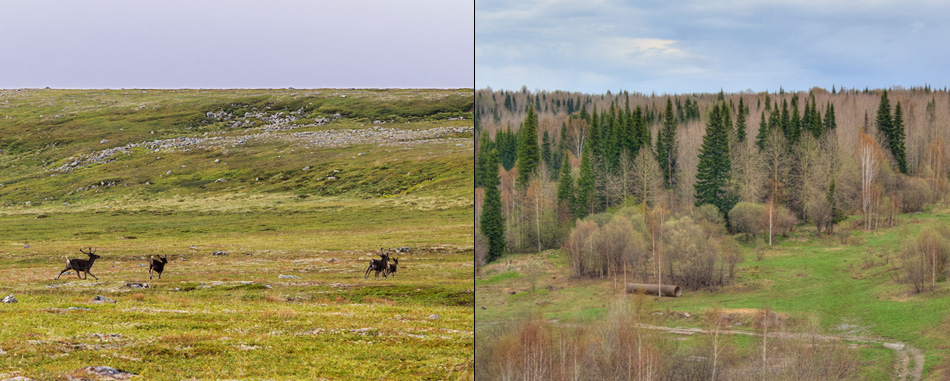 Photographs (left) of reindeer on Arctic tundra and (right) taiga forests in sub-Arctic Russia