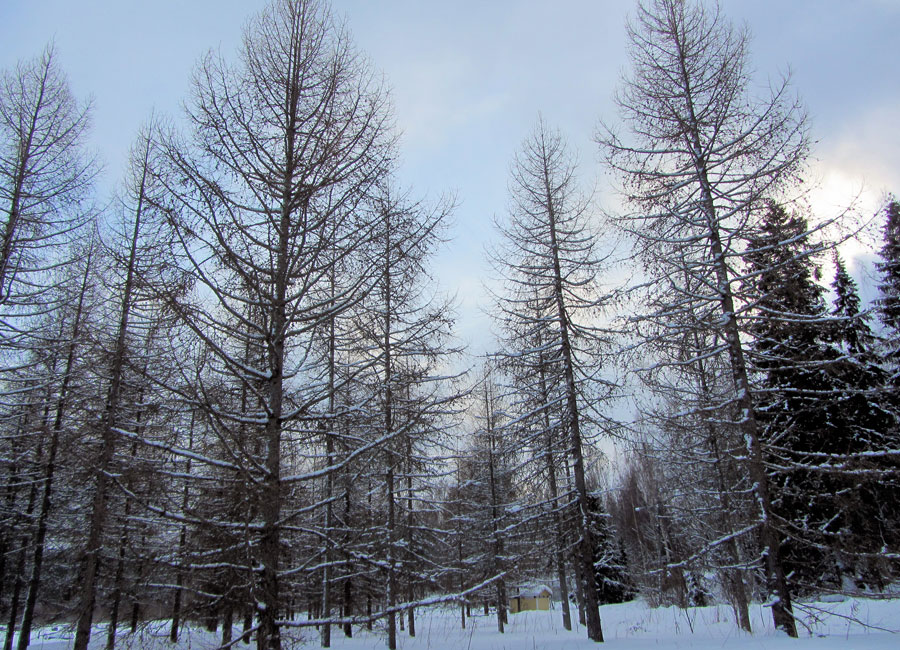 Photograph of Siberian larch trees