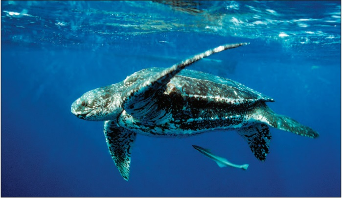 Atlantic leatherback