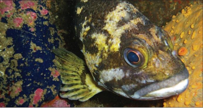 Monterey Bay rockfish