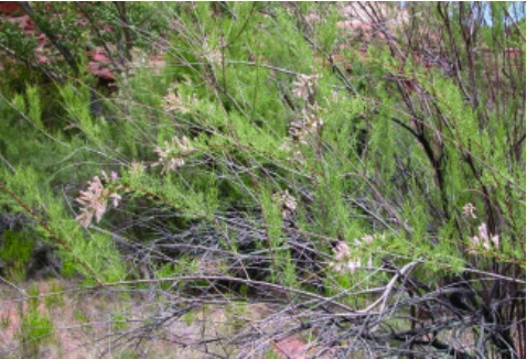 tamarisk trees