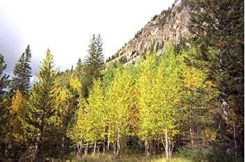 aspen trees rocky mountain