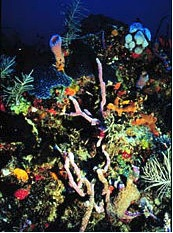 Caribbean reef inhabitants