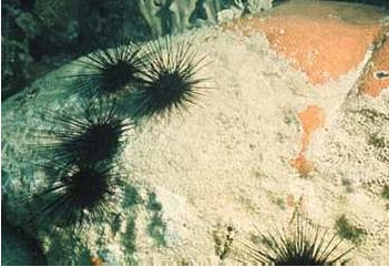 Diadema sea urchins