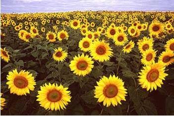 sunflowers in Fargo