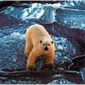 arctic sea ice polar bears