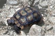 desert tortoise Mojave