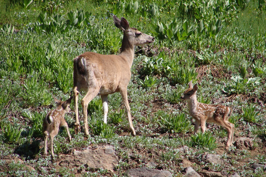 Photograph of a mule deer doe with twin fawns