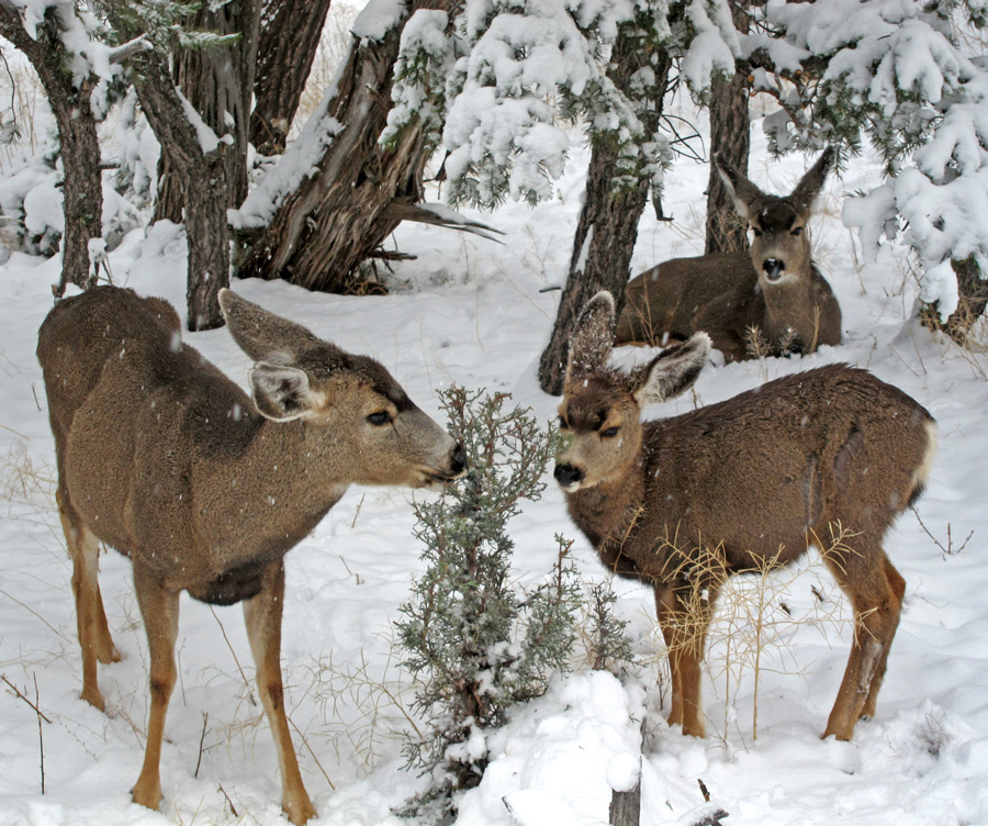 Photograph of mule deer nibbling on a small juniper tree