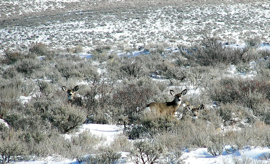 Photograph of mule deer in the sage flats of southern Idaho